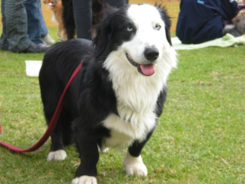border collie-sausage dog mix..awesome..
